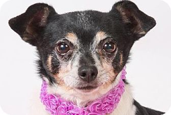 Pictures of Salsa a Chihuahua for adoption in Colorado Springs, CO who needs a loving home.