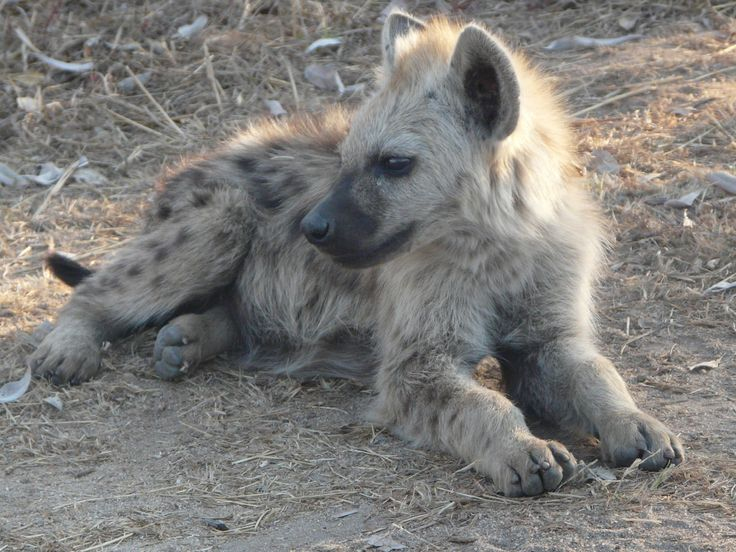 Young Hyaena