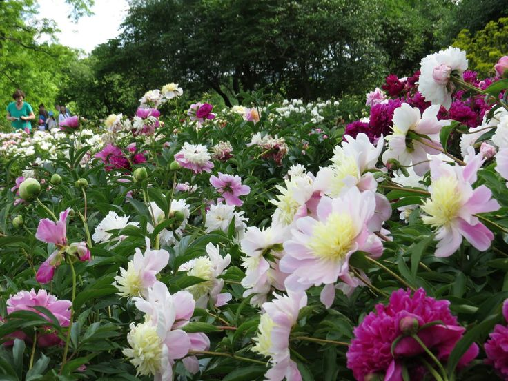 Peonies, Laking Garden, Royal Botanical Gardens, Burlington, Ontario