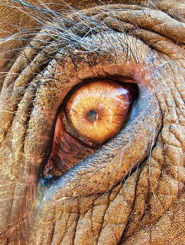 "African Elephant Eyes | ... is lboogie's ""Beautiful Asian elephant eye - Elephant Nature Park"