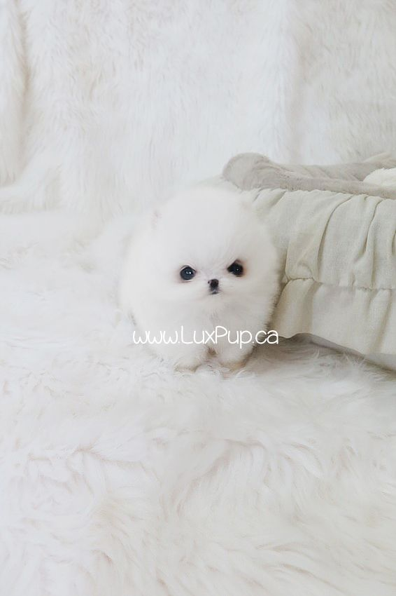 Teacup white Pomeranian puppy love