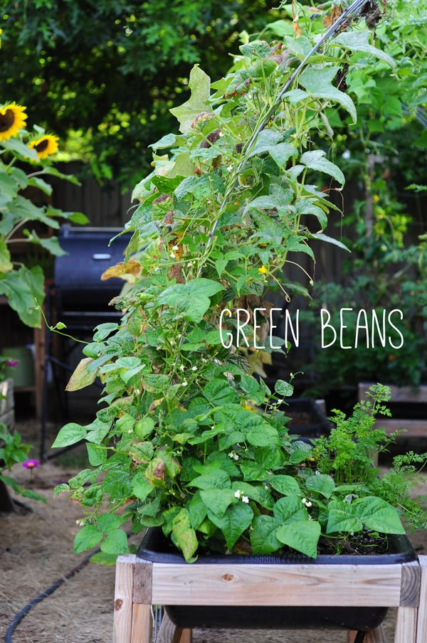 DIY GARDEN    green beans on trellis. learn about a new way to garden on link