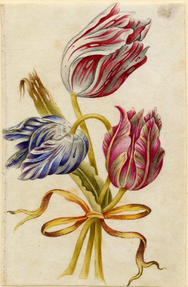 Drawing from an album, crimson and white, purple and white, and crimson and yellow Tulips, tied with orange ribbon Watercolour over metalpoint, shaded with grey wash and heightened with white, on vellum. From Alexander Marshal's Florilegium.