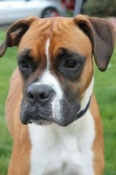 Northwest Boxer Rescue   Annie is an adoptable Boxer Dog in Medford, OR. Annie was a stray and we pulled her from a Southern Oregon shelter on 11/17 and is being fostered in Medford, OR. She is approximately 2 years old howev...