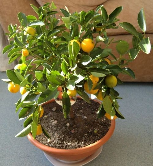 The cultivation of lemons from seeds is very interesting especially to children that afterdrinking lemonadecan follow the development of the plant and also grow with it. Although the lemon begins to blossom as a young plant, it will bringfruits after a few years.