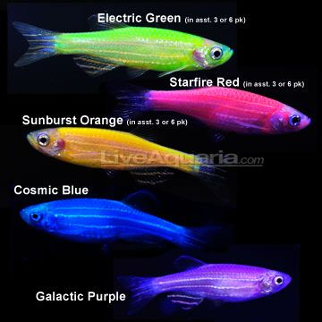 glofish....these really exist...aquarium kit includes blue LED lights and the fish actually glow (danios, pictured, and tetra varieties)....MUST HAVE #seaspacecoralforest