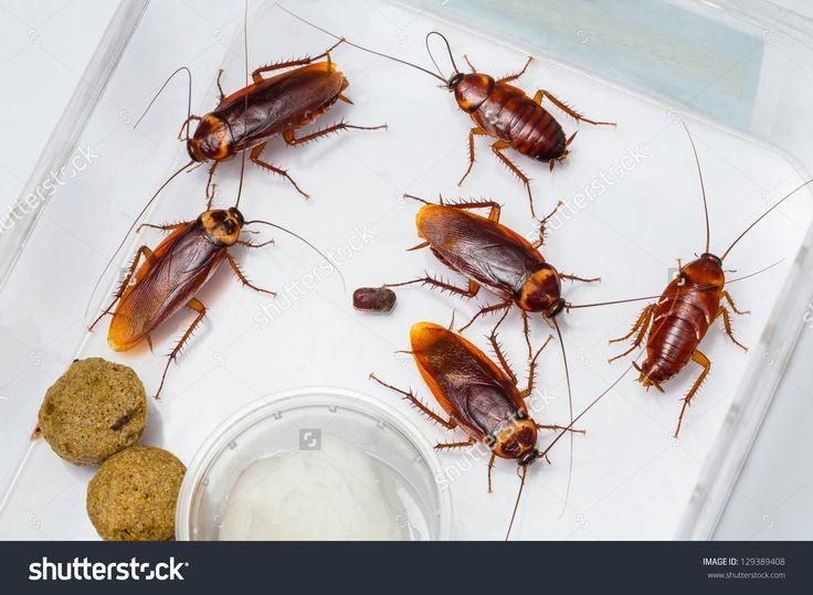 10 best Cockroach images on Pinterest Stock photos, German