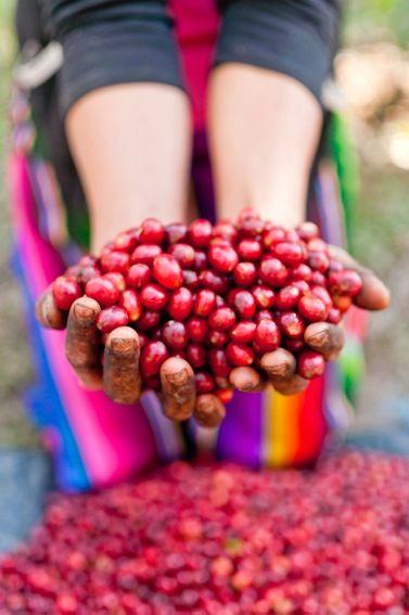 Coffee beans from Finca El Pintado-Antigua, Guatemala's only organic & rainforest certified coffee farm & Cultiva Tours partner