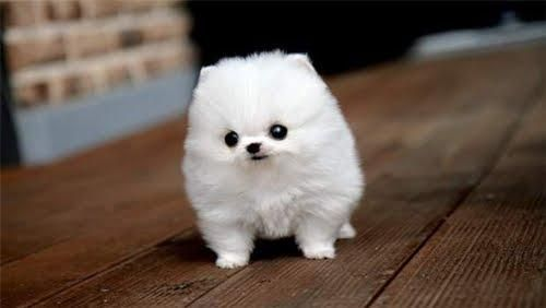 I am melting from the cuteness.Cotton, Teacups Pomeranians, Ball, Funny Dogs, Little Puppies, Cutest Dogs, Pets, Marshmallows, Animal