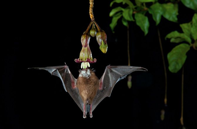 Photograph By Merlin D Tuttle Echoes From This Waxy Bell Shaped Flower Draw A Pollen Dappled Bat Straight Up From Be Night Blooming Flowers Large Animals Bat