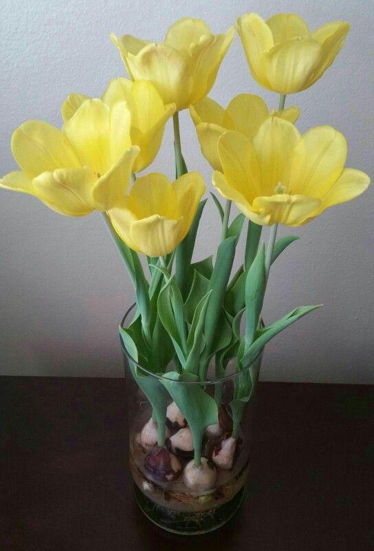 Wide opened yellow tulips