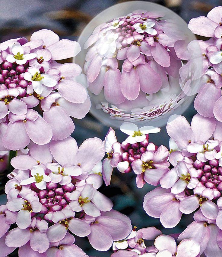 Iberis 'Pink Ice®'
