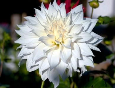 Dinnerplate Dahlia   SnowboundLarge, Elegant Blooms OfSnowboundDahlia Are  Simply Stunning In The Garden, But Make A Top Choice Of Florists As Well!