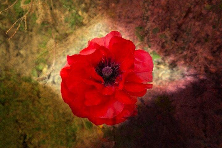 Cardrona Poppies | New Zealand by ZenLandia on Etsy