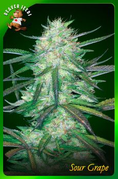 Sour Grape marijuana seeds Canada strain is a good medication for chronic pains, loss of appetite and even migraines. It is also an effective medication for illnesses like arthritis, insomnia, depression and even anxiety.