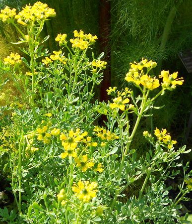 Arruda Planta medicinal com efeito de fortalecer vasos sanguíneos, sendo utilizada como escalda-pé em casos de varizes.   Arruda (Ruta graveolens)