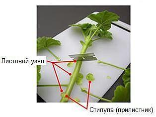 Пеларгония:выращивание,уход,размножение