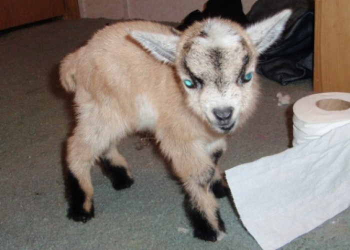 Pygmy Goats For Sale | 2010 pygmy goat Kids For Sale $70.00 for Sale in Albion, Indiana ...