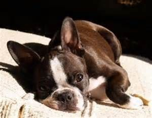 Seal colored Boston Terrier - Yahoo Image Search Results