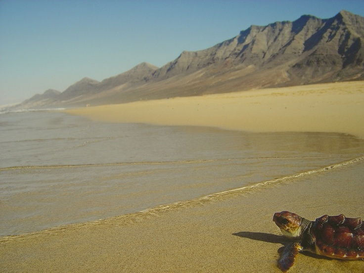 Turtle Release, Cofete Beach, Fuerteventura