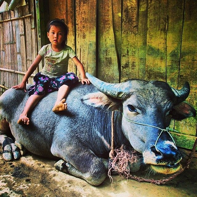 Who needs furniture when you've got a water buffalo? A young girl takes a break in Vietnam.