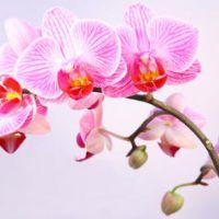 Orchidée : floraison, soins et conseils d'entretien
