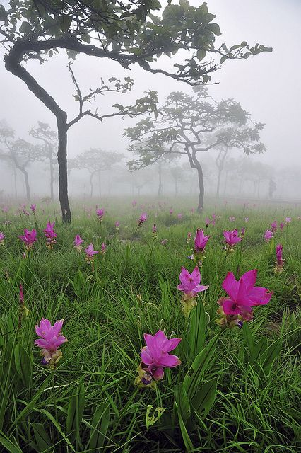Fields of Siam Tulips is in the Pa Hin Ngam National Park in the Chaiyaphum province of Thailand