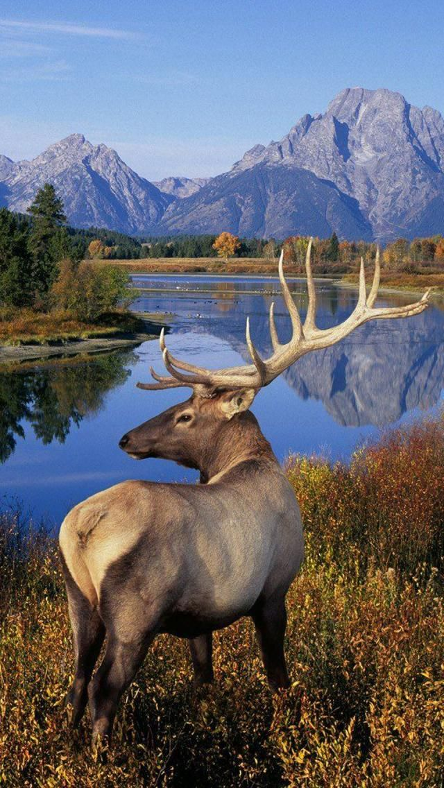 Elk or wapiti is one of the largest species of deer in the world, and one of the largest land mammals in North America and eastern Asia.  Scientific name: Cervus canadensis, Grand Tetons National Park, Wyoming