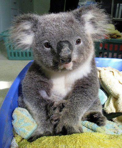 "Aww, Koala! <3 (Not ""koala bear""!!)"