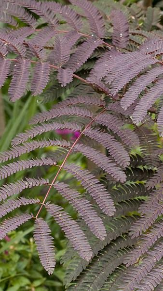 Albizia Julibrissin Chocolate Fountain, chocolate coloured fern-like foliage & an elegant weeping habit.