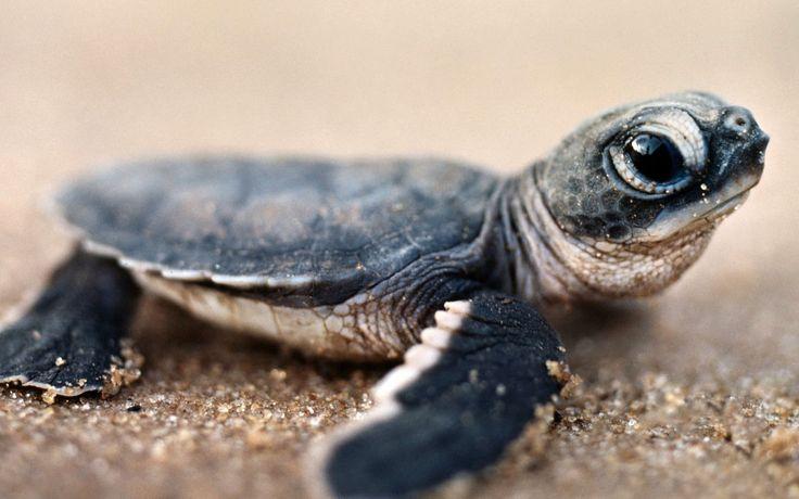 Fond d'écran hd : tortue de mer