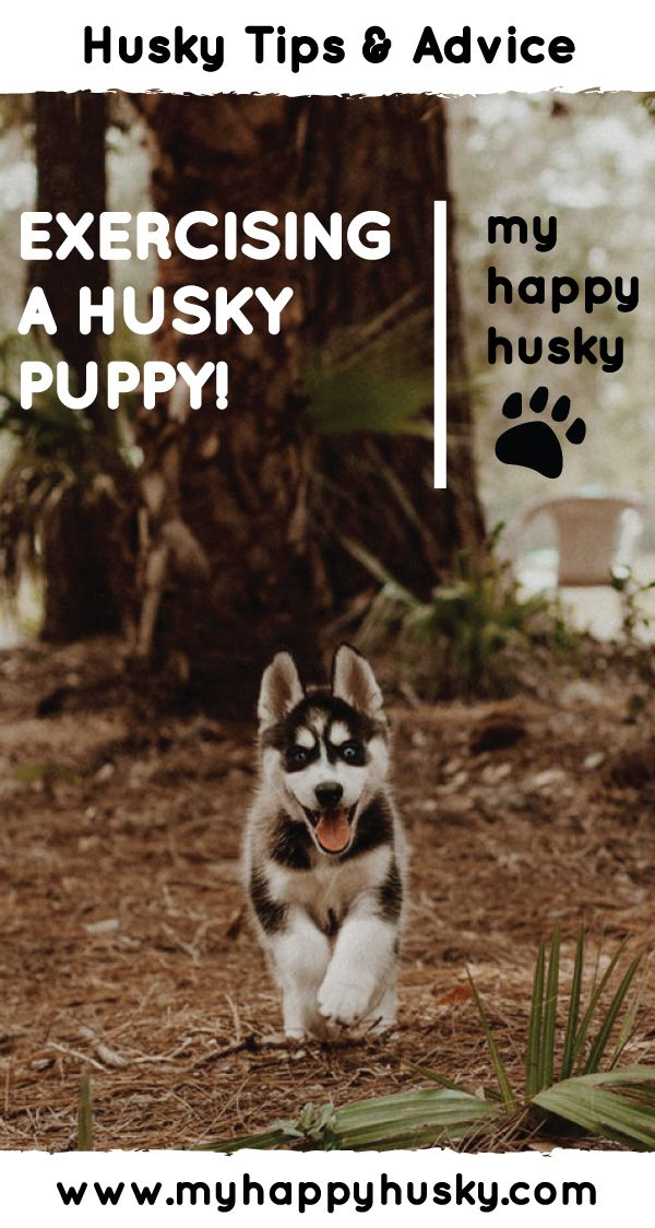 How To Exercise Your Cute Husky Puppy Husky Puppy Husky Puppy