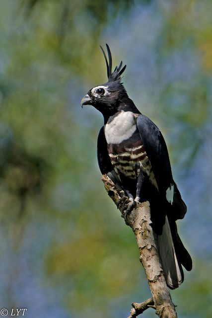 Black Baza is small sized bird of prey found in the forests of South Asia & Southeast Asia.