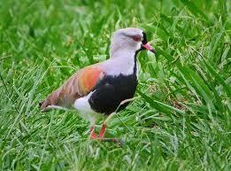 aves de chile jaramillo - Buscar con Google - Queltehue o Treile