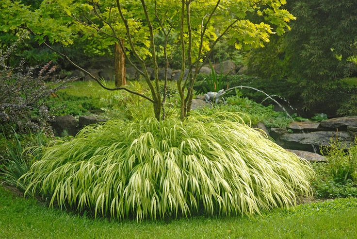 An award-winning Zen masterpiece. This stunner produces masses of white and gold striped leaves from late summer to early fall. Grows successfully in partial to full shade. Heat-tolerant. Matures to be 1-2' tall.