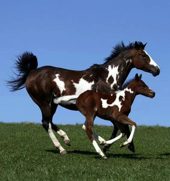 Frame/Sabino Overo mare with her Tobiano (probably sabino too) foal.
