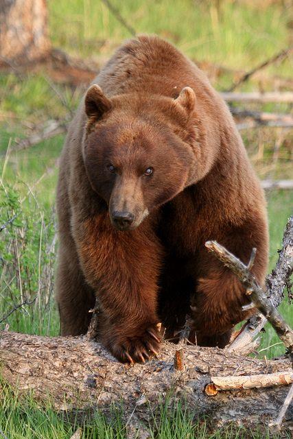 Blue-eyed Cinnamon Bear, variant of American Black bear