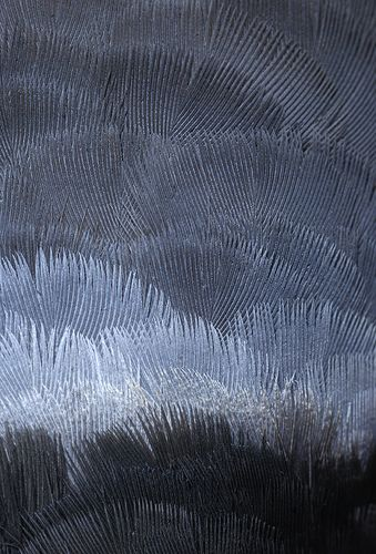 Dove Feather Plumage by Arddu
