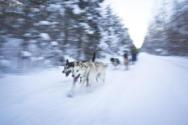 Dogsledding in Haliburton