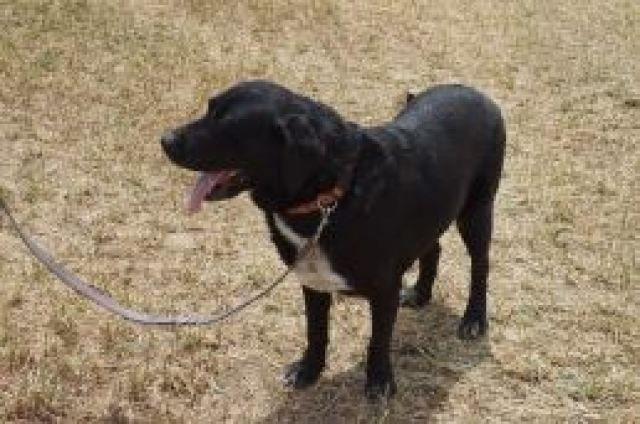 Año de nacimiento: Mayo 2009  Sexo: Hembra  Raza: Labrador Retriever  Tamaño: Grande    ¡Esta es nuestra... #adoptar #mascotas #adopcion #perros #gatos