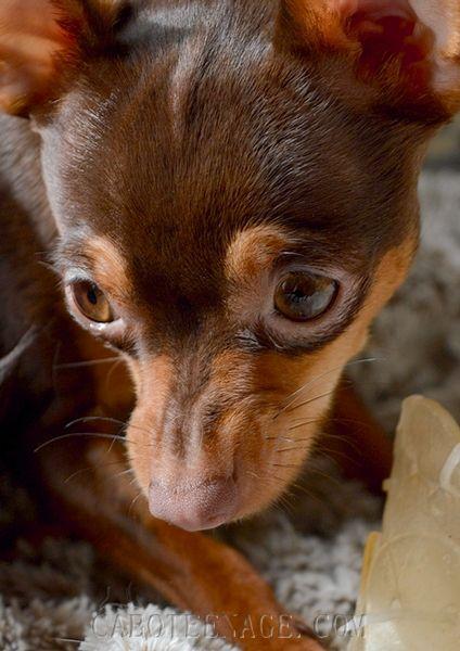 Photos : <span>Le ratier de Prague, un chien de garde</span>
