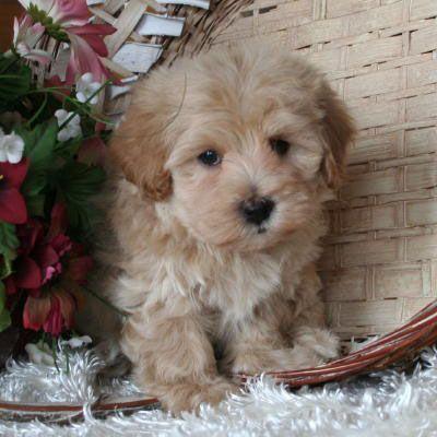 Maltipoo Puppy 4 Sale| Maltepoo| Maltese Poodle Puppies | Iowa