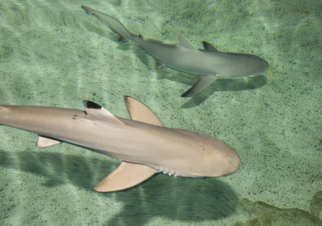 A black tip reef shark front and a gray reef shark get for Baby shark fish