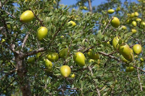 Argan Tree Leaf | GOATS ON ARGAN TREE