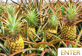 Image result for pineapple farm
