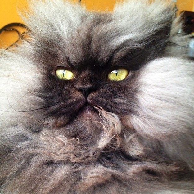 Colonel Meow Crazy cats, Cats, kittens, Funny cats