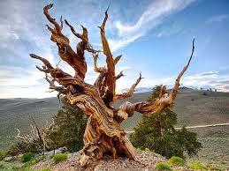 Descopera plantele: 10 dintre cei mai batrani copaci din lume
