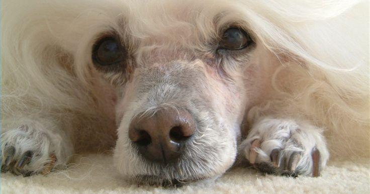 Cómo criar un caniche toy. Los caniche toy son una raza con una larga historia. Con origen en el caniche estándar, los caniche toy son una versión más pequeña de sus primos más grandes, los perros de caza. Los caniches son ampliamente conocidos como perros de caza, aunque son más comunes como perros de exposición y de compañía. La crianza de caniches toy puede ser una ...
