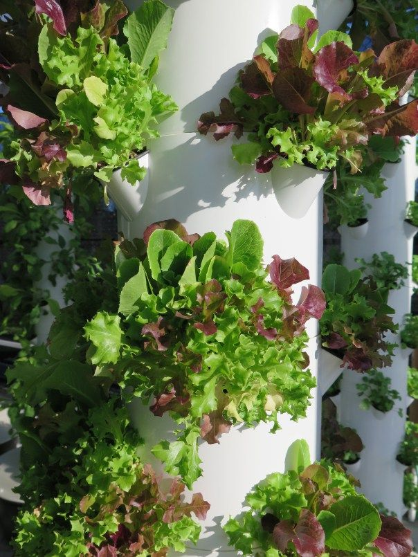 Hydroponic growing lettuce in the Bahamas.
