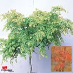 Acer palmatum 'Omurayama' - A delightful form of Japanese maple, grafted onto a 'standard' in a similar style to a weeping maple, that has softly cascading branch tips and attractive spring to autumn foliage.